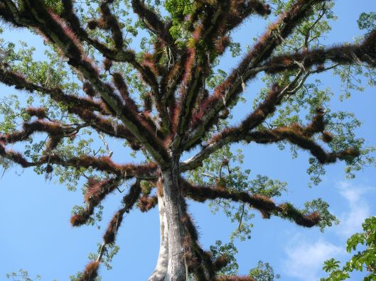 Ceiba tree.  Tikal. Guatemala