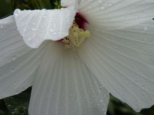 Raindrops on white flower