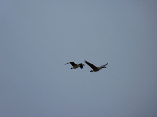 two Canada geese