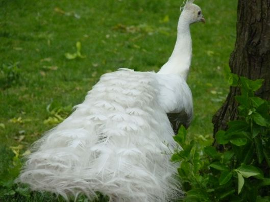 a gorgeous white peacock struts away