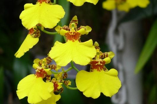 Carmen Miranda Orchids