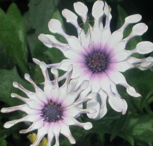 Cricket on white flower.