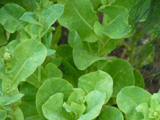lettuce 231