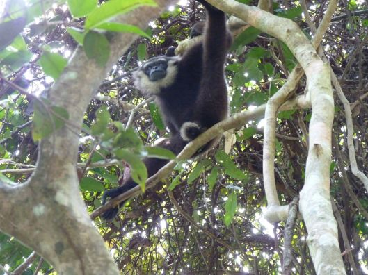 A gibbon watching us watching him.