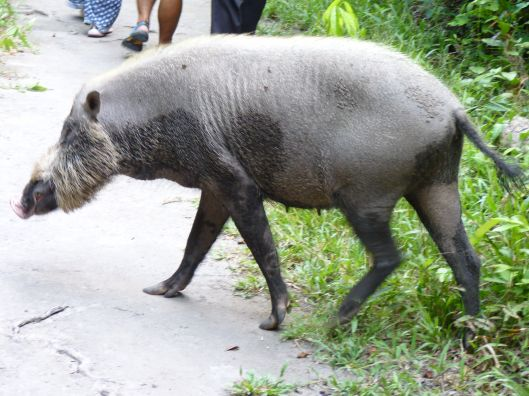 A wild boar crosses the road.